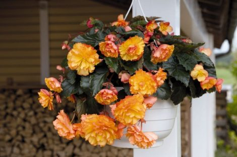 Begonia Illumination Golden Picotee mag (pelletált) /10 szem