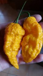 Big Yellow Mama chili paprika mag /10 szem