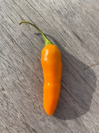 Datil St.Augustine chili paprika mag /10 szem