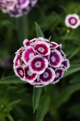 Dianthus barnatus Sweet Purple White Bicolor mag (pelletált) /10 szem