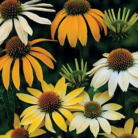 "Echinacea purpurea ""Mellow Yellows"" mag /10 szem"