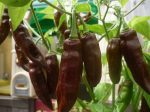 Fatalii Brown chili paprika mag /10 szem