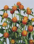 Gomphrena haageana Orange mag /20 szem