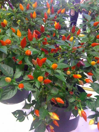 Numex Twilight chili paprika mag /15 szem