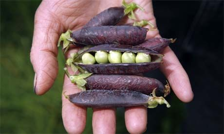 PURPLE PODDED borsó mag /10 szem