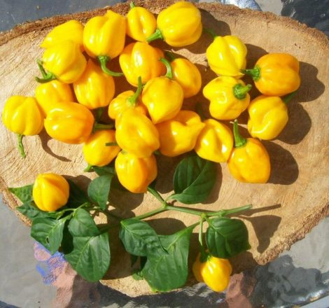 Scotch Bonnet Yellow chili paprika mag /15 szem